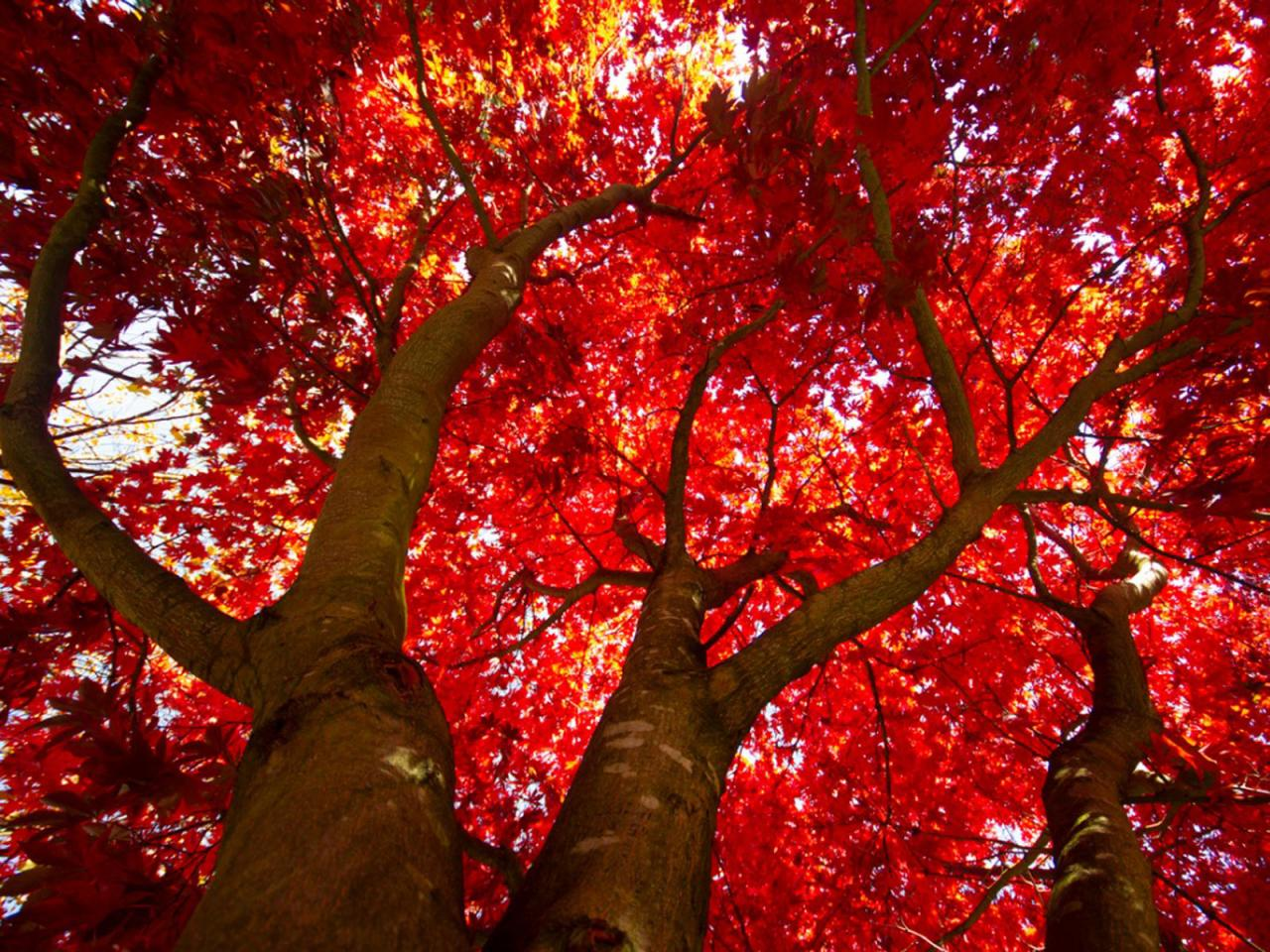 Érable à feuilles rouges