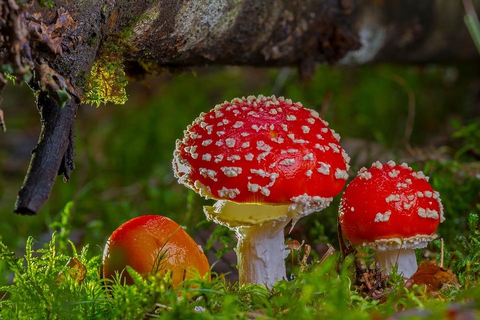 Les champignons des bois et des prés Des végétaux très prisés