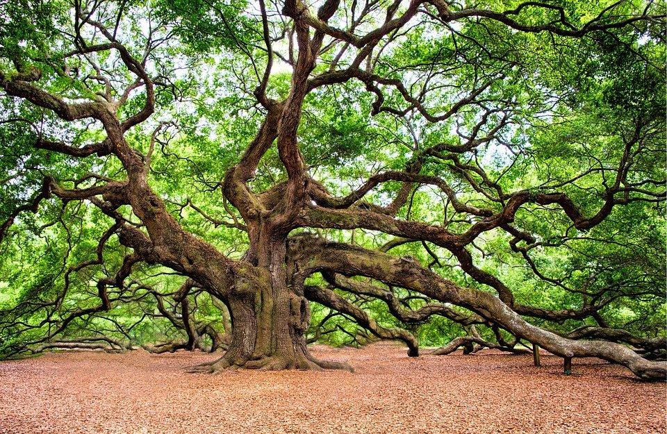 Les plus vieux arbres en Normandie et Bretagne